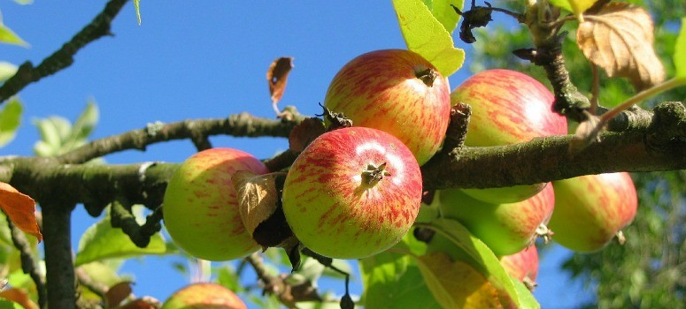 Las manzanas pueden llegar a ser letales
