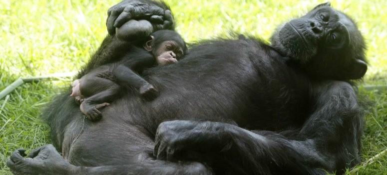 Los chimpancés, orangutanes y bonobos pueden leer la mente