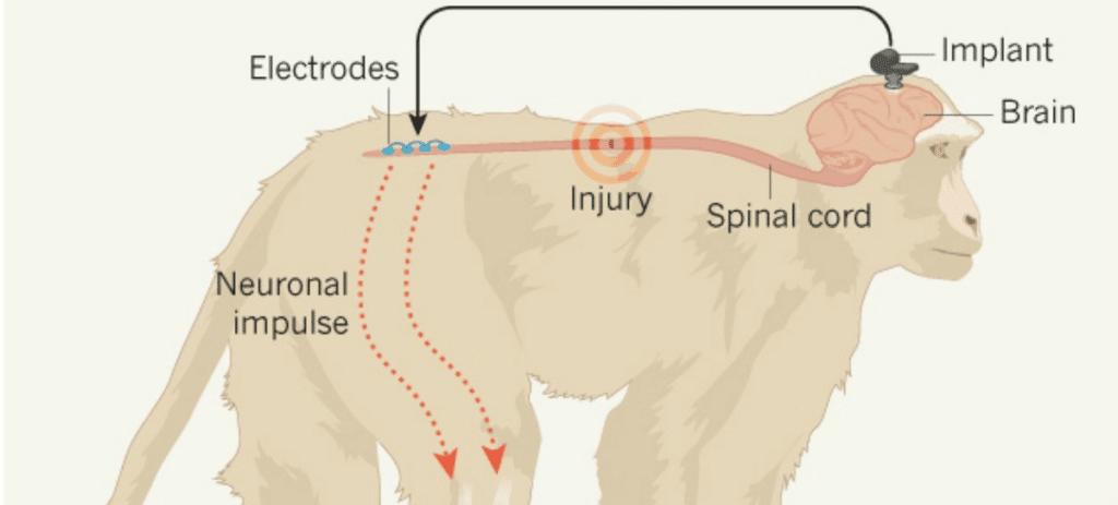 Monos con lesión medular vuelven a caminar, mira cómo