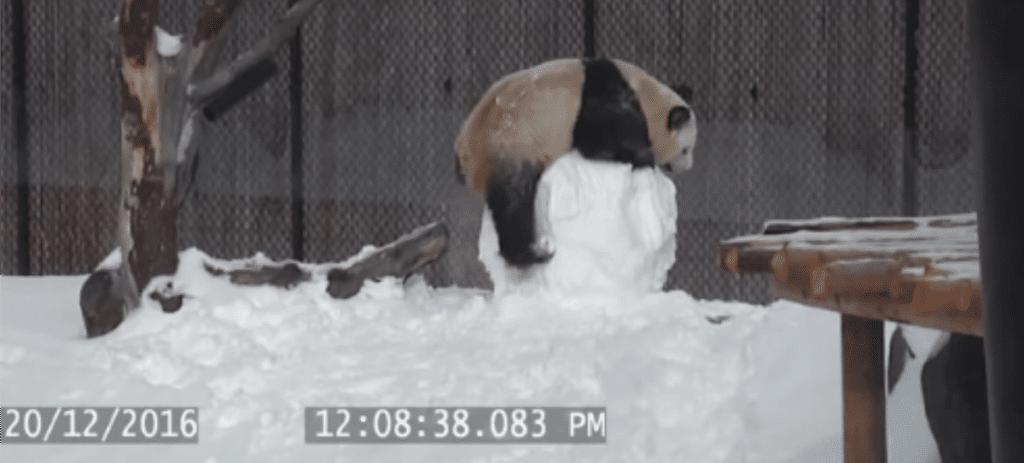 Entrañables imágenes de cómo juega un oso panda con un muñeco de nieve