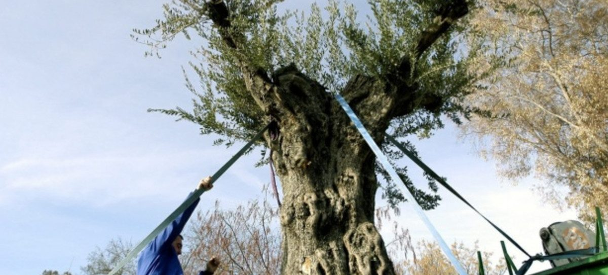 La floración del olivo será de menor intensidad que en 2018, según la REA