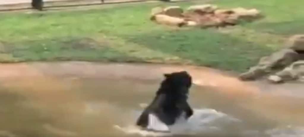 El primer y emocionante baño de un oso asiático tras pasar toda su vida enjaulado